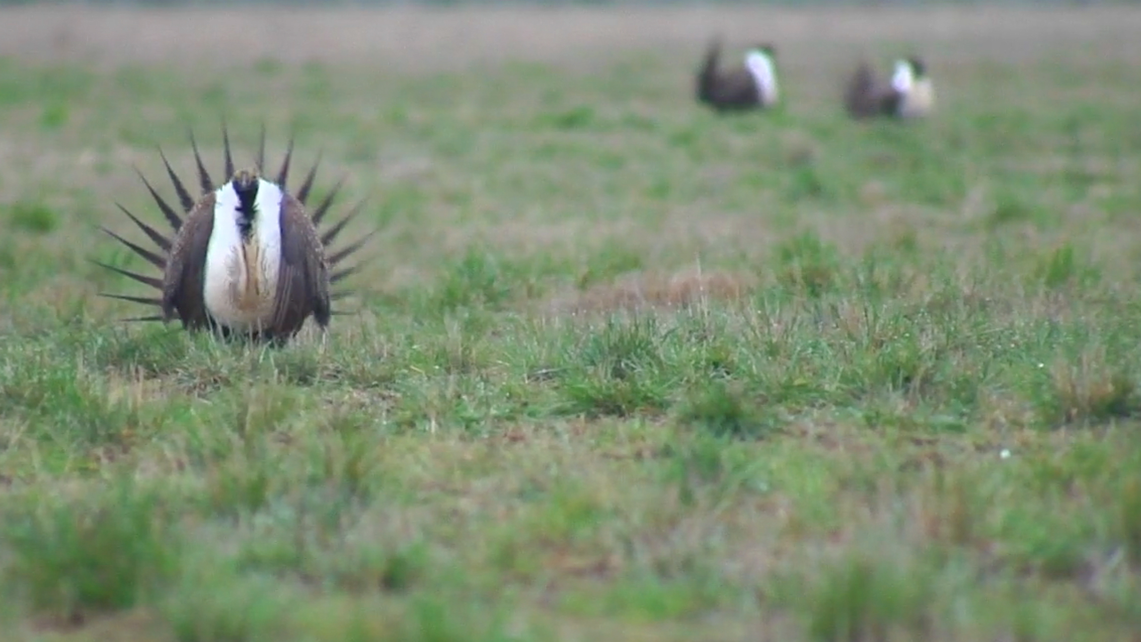 Can Sage Grouse Be Saved Without Shutting Down The West