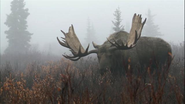 Image result for moose national geographic