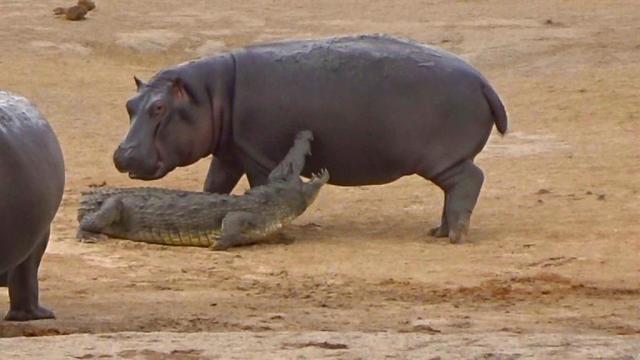 hippopotamus aggressive