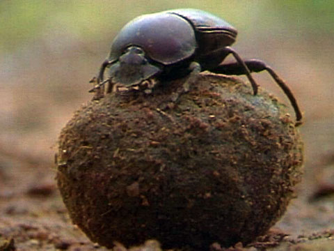 IELTS Reading dung beetle