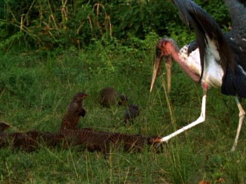 Stork vs Mongoose