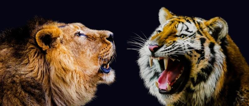 deux tigres qui se font la compétition