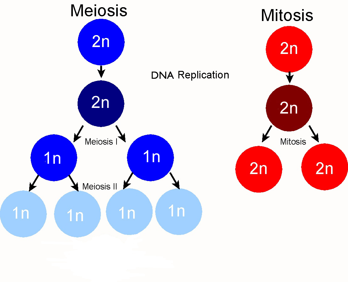 Cell Division Part 3 Grade 9 Understanding Of Meiosis For