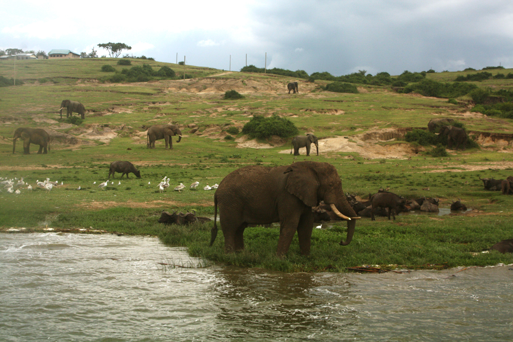 Elephants enjoy a quench themselves on Kazinga channel in Queen Elizabeth National Park in 2020. Photo by Felix Basiime