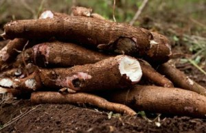 Cassava...now seriously yielding money for Nigerians...