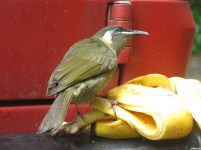 Bird and banana