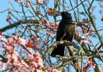 Blackbird_klein