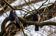 Jackdews sitting in the tree and cleaning their feathers