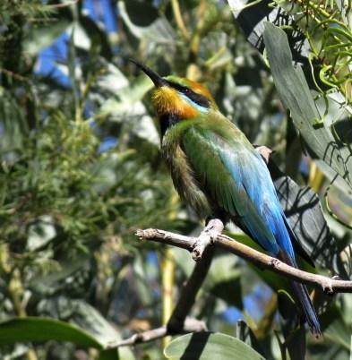 rainbow-bee-eater2 klein