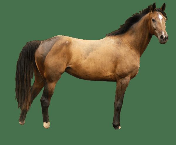 Лошадь PNG фото