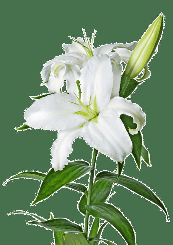 Lilium PNG