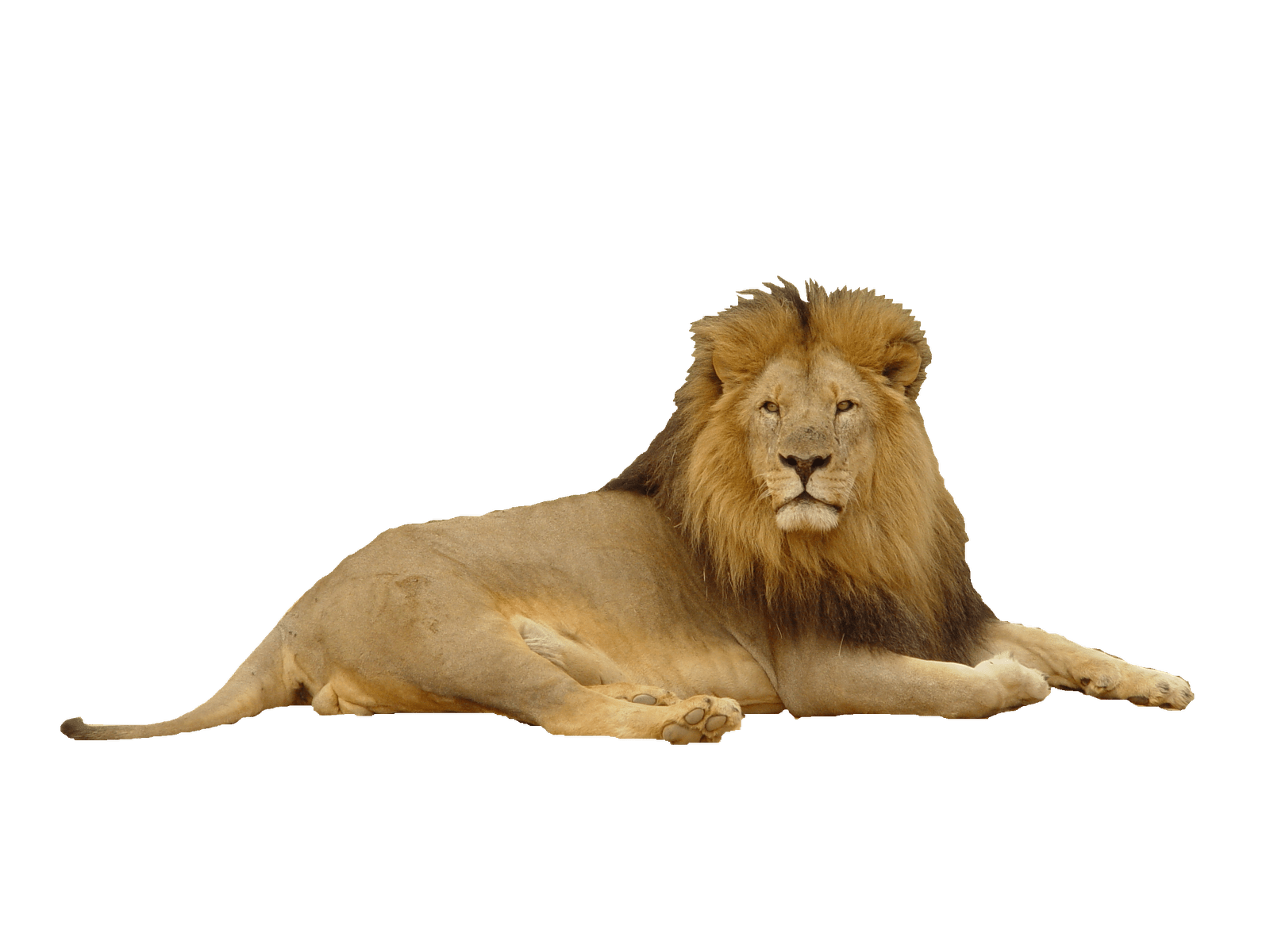 Lion Png Images Free Download Lions