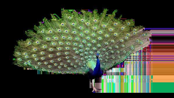 Peacock PNG
