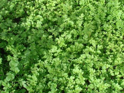 Сидерати - зелене добриво