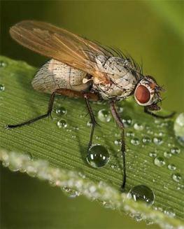 Озима муха
