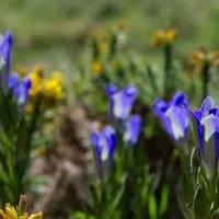 Flores PNPGerês - Gentiana pneumonanthe