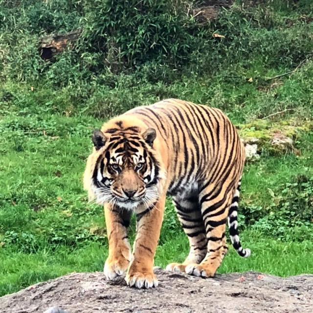 Mohan, one of Point Defiance Zoo Sumatran tigers, eagerly waiting for his food