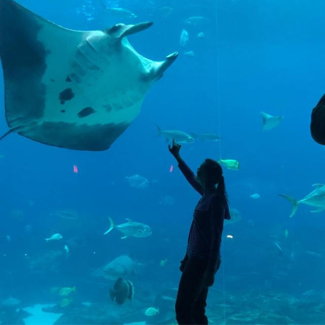 Manta Rays at the Georgia Aquarium