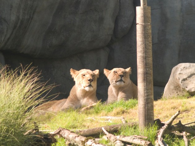 Lioness at Oregon Zoo