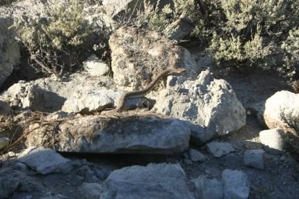 Westfall Rattlesnake email