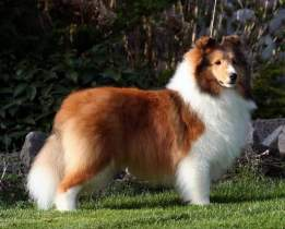 Wintercreek Shelties: BISS GCh Coastal Wintercreek Storm  Warning  AOM