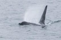 Orcas - 6