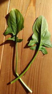 赤根ほうれん草の葉