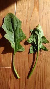 次郎丸ほうれん草の葉