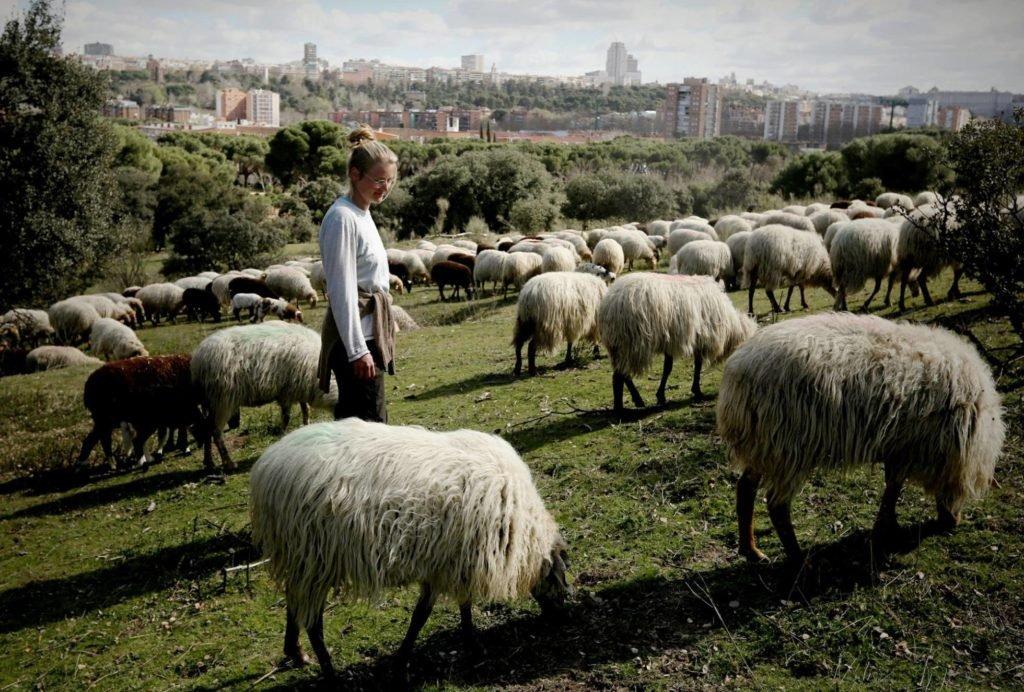 Las escuelas de pastoreo en España