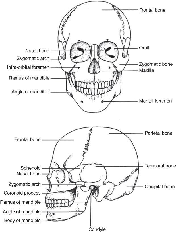 Diagrammatic illustration of The skull.