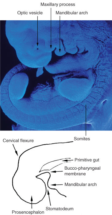 Illustration of mesoderm on each side of the neural tube splits into segments in embryo. Sketch for mid-sagittal section with the primitive oral cavity.