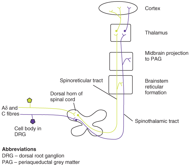Scheme for physiological processing of pain.