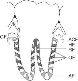 Diagram for PDL fibres.