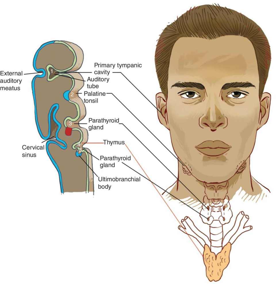 Illustration of pharyngeal pouches derivatives displaying the (1) primary tympanic cavity, auditory tube, (2) palatine tonsil, (3) parathyroid gland, (4) thymus with a line connecting to the neck region of a man.