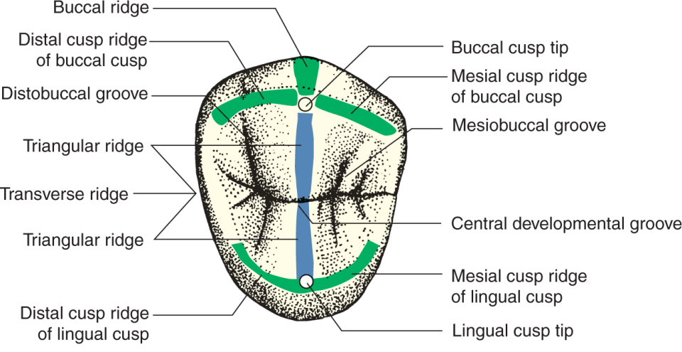 An illustration shows the top view of a two-cusped maxillary premolar.
