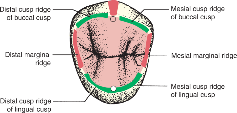An illustration shows an occlusal view of a two-cusped premolar.