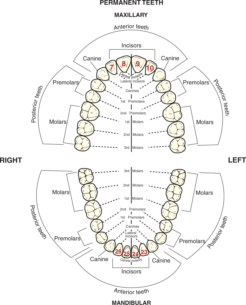 Two illustrations show adult dentition with Universal numbers marked on the incisors.