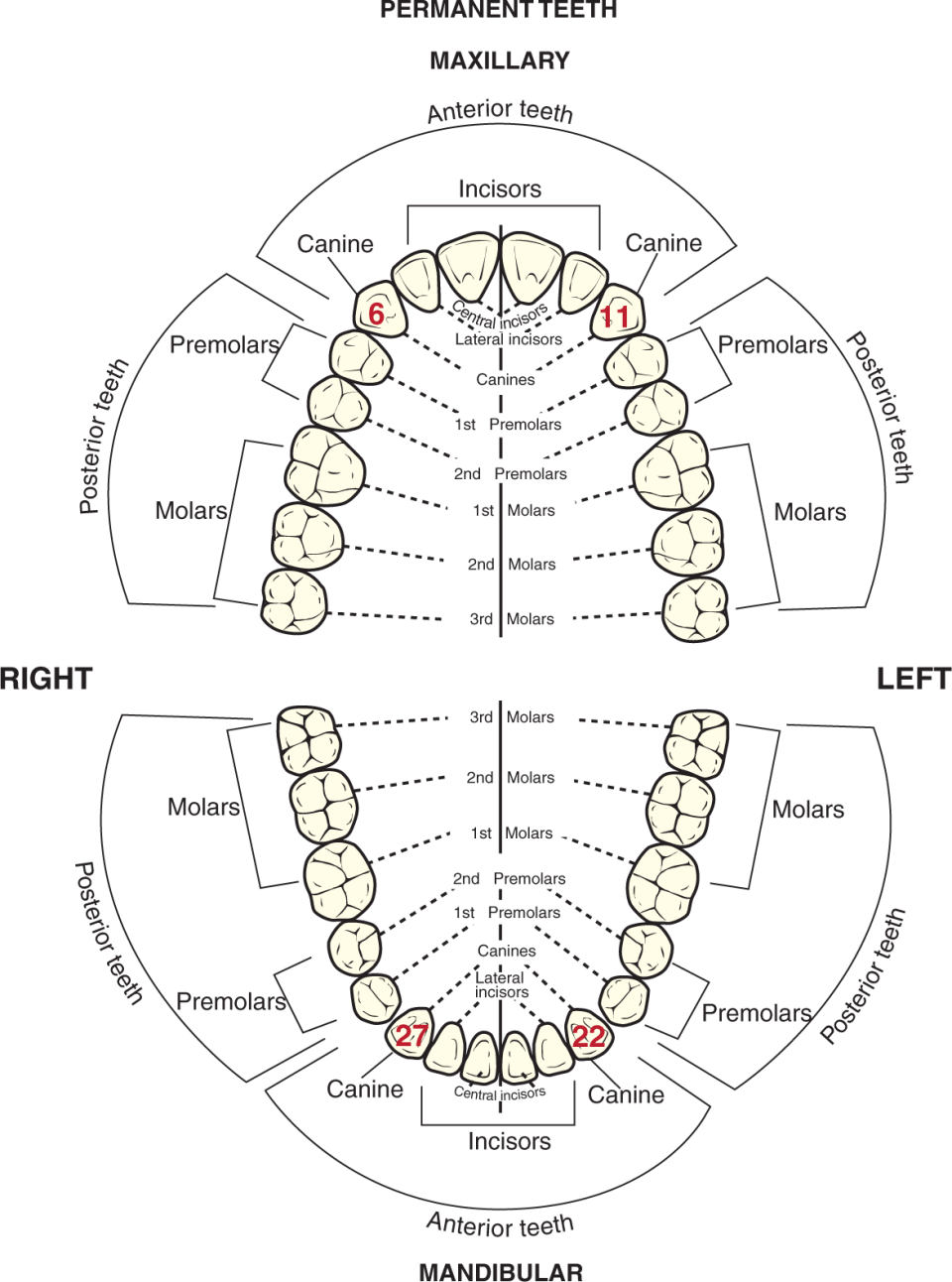 An illustration shows the adult dentition with the Universal numbers for canines highlighted in red.