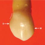 Class traits of canines (both maxillary and mandibular)