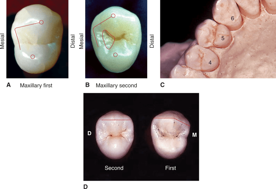 Photos A, B, C, and D show that the maxillary second premolars are more symmetrical than maxillary first premolars.