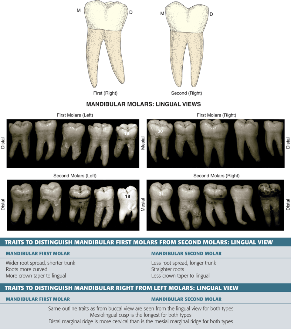 An illustration and photos show the proximal views of the mandibular molars and their traits.
