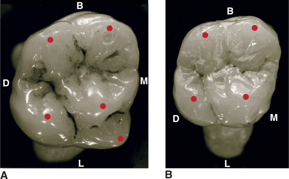 An illustration and photos show the proximal views of the maxillary molars and their traits are shown.