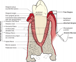 Definitions of basic periodontal terms