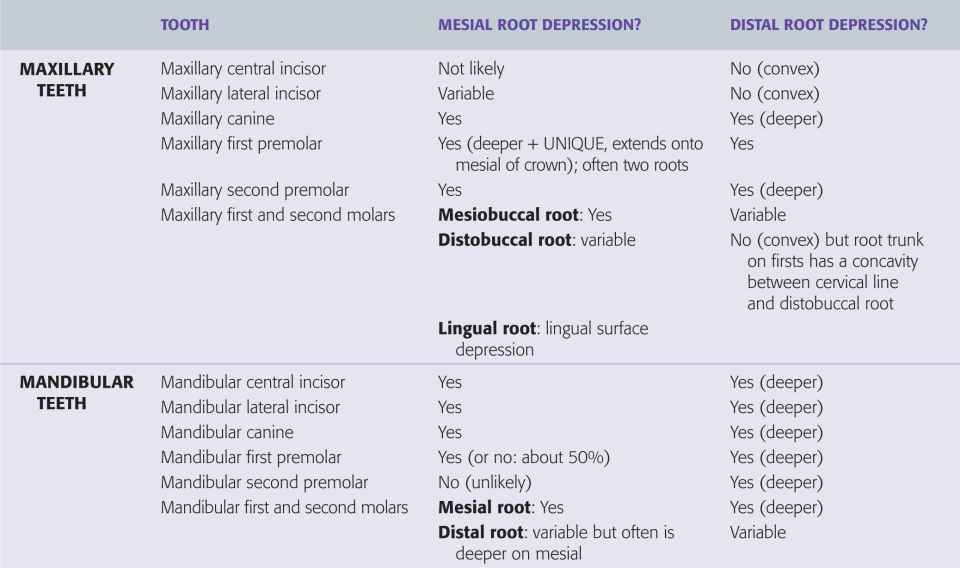 A table shows the guidelines for numbers of pulp horns in adult teeth.