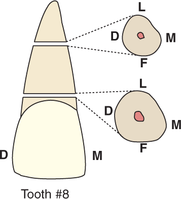 An illustration shows tooth #8, the maxillary central incisor and its cross section.
