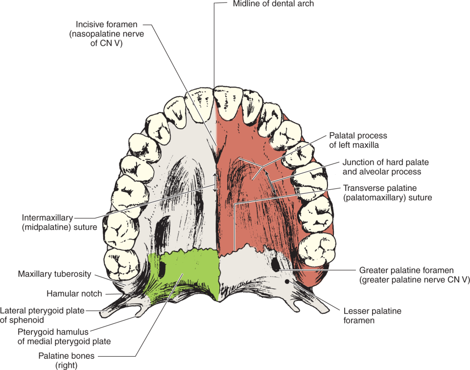An Illustration shows the Inferior view of the hard palate with maxillary teeth.