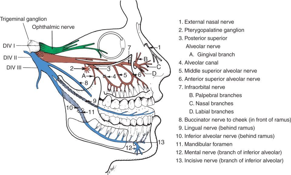 An illustration shows the trigeminal nerve distribution of the branches of the maxillary and mandibular divisions.