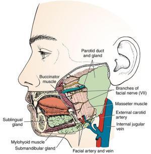 15 Salivary glands and tonsils | Pocket Dentistry