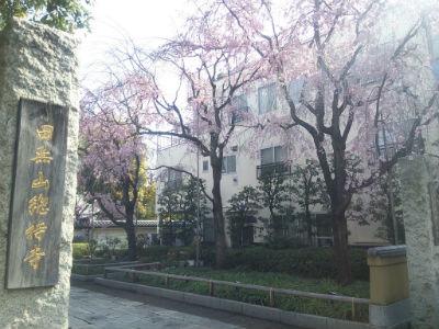 20150406 総持寺しだれ桜4