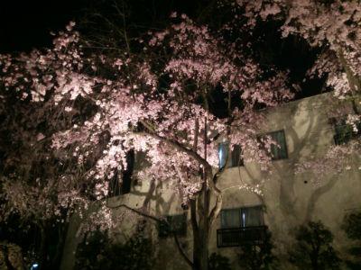 20150406 総持寺夜桜3